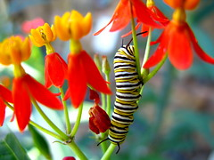 Color Feast (OakleyOriginals) Tags: butterfly grow september eat monarch tulsa larva butterflyweed tulsaoklahoma danausplexippus