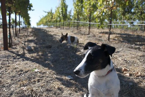Lucy guards the vineyard. Oscar eats something dead. And they are both starting to provide really good conversation.