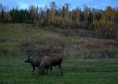 alaska sept oct08 (21) (jaimie_dee) Tags: alaska moose northpole eielson