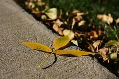 Fallen (Jadydangel) Tags: autumn fall grass yellow leaf bokeh seasonal sidewalk natureycrap notexplored jadydangel