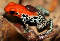 Ranitomeya reticulata (Red-backed poison dart frog) with a tedpole on its back (Dr. Alexey Yakovlev) Tags: dendrobatidae iquitos amphibia peru