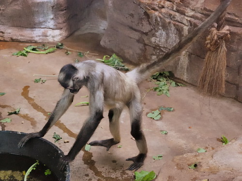 Saint Louis Zoological Garden, in Saint Louis, Missouri, USA - monkey 1