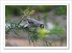 Noisy Miner-6022 (Barbara J H) Tags: nature birds coast australia qld sunshinecoast australianwildlife tanawha noisyminer australiannativebird manorinamelanocephala birdsofaustralia maroochyregionalbushlandbotanicgardens maroochybushlandbotanicgardens tanawhasunshine maroochyregionalbushlandbotanticgarden