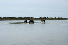 Wild horses grazing in the sound