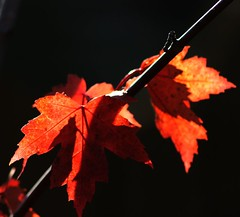 Let there be light... (peggyhr) Tags: autumn friends light shadow red canada black fall leaves branch colours bc diagonal explore backlighting burntorange tulameen autumnfall 25faves golddragon mywinners infinestyle globalvillage2 peggyhr goldsealofquality explorewinnersoftheworld saariysqualitypicturesgallery