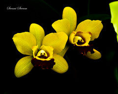 Orchids at Flower Market 3 (Swami Stream) Tags: flowers macro yellow blackbackground canon thailand rebel orchids bangkok flowermarket xti masterphotos swasmistream swamistreamcom