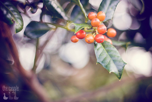 Holly Bokeh-Berry
