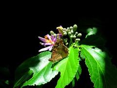 ✿ ઇઉ ✿ (✿ Graça Vargas ✿) Tags: flower butterfly purple explore blackground starflower interestingness451 graçavargas grewiaoccidentalis duetos ©2008graçavargasallrightsreserved 30012070513