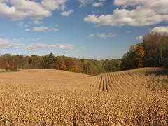 St. George Corn Field IMG_9559 (Jennz World) Tags: autumn ontario canada fall fourseasons stgeorge shadesofautumn canons3is