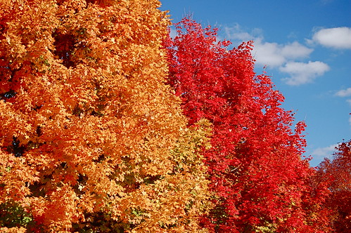 Trees a-blazing