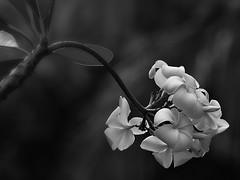 Plumeria (DSC_7880) (Fadzly @ Shutterhack) Tags: blackandwhite bw flower tree monochrome d50 garden nikon noiretblanc plumeria bokeh malaysia frangipani terengganu blancinegre shutterhack gongbadak sigma70200mmf28exdghsmapo