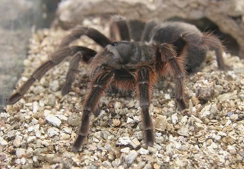 Tarantula - Grammostola actaeon