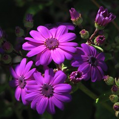 Saturday means purple these days, doesn't it....? (Mary Trebilco) Tags: flowers flower macro nature canon garden bravo purple powershot explore handheld frontpage squarecrop cineraria pps 12xzoom straightfromthecamera sooc powershots3is canonpowershots3is exceptforacrop perfectpurplesaturdays kitchiesgarden