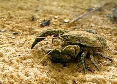 river's crab (Aegla platensis) CANGREJO DEL PLATA ~ Original = (3550 x 2529) (turdusprosopis) Tags: crab crabs crustacea cangrejos cangrejo artropodes decapoda anomura cangrejoderío decápodos vicentelópeznaturereserve vicentelópezreserve reservadevicentelópez reservanaturalvicentelópez reservanaturaldevicentelópez aeglaplatensis aegla riverscrab cangrejosderíos aeglaplatensisschmitt1942 aeglidae