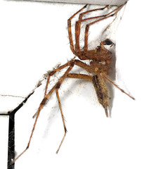 Creepy Grass Spider (zxgirl) Tags: night bug spider spiders arachnid flash bugs arachnids arachnida s5 araneae palps dcr250 raynox agelenopsis agelenidae araneomorphae palp malespider truespiders grassspiders funnelwebspiders entelegynes arachtober arachtober08 spiderpalps malepalps
