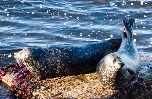 Seals at Ham (1)