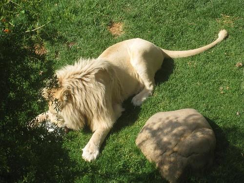 A male white lion