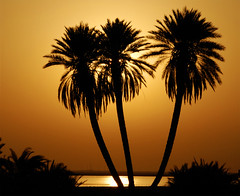 Palm's Beach (Al Uqayr) (aZ-Saudi) Tags: friends sea sky beach nature silhouette sunrise landscape gold golden interesting nikon palm explore oasis saudi arabia d200 soe ksa alhasa blueribbonwinner    supershot abigfave     platinumphoto aplusphoto ultimateshot flickrdiamond goldstaraward  pigawards jediphotographer