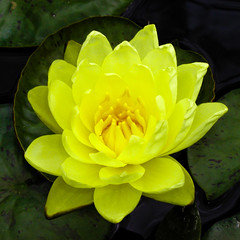 BK269 Water Lily (listentoreason) Tags: usa plant flower color nature yellow closeup america waterlily unitedstates pennsylvania favorites places olympus longwoodgardens floweringplant angiospermae magnoliophyta angiosperm nymphaeales score30 olympusc4040z c4040z