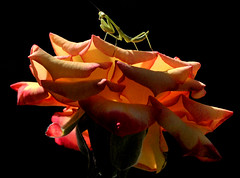 Morning Light in the Garden (Jeff Clow) Tags: morning macro nature closeup garden mantis insect bravo searchthebest dfw prayingmantis jeffclow jeffrclow