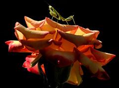 Morning Light in the Garden (Jeff Clow) Tags: morning macro nature closeup garden mantis insect bravo searchthebest dfw prayingmantis jeffclow ©jeffrclow