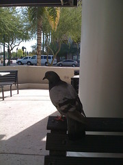 IMG_0241 (SavageIndustries) Tags: pigeons jackinthebox feedingthebirds ratswithwings curlyfries feedingpigeons jackintheboxpigeons birdsandfries