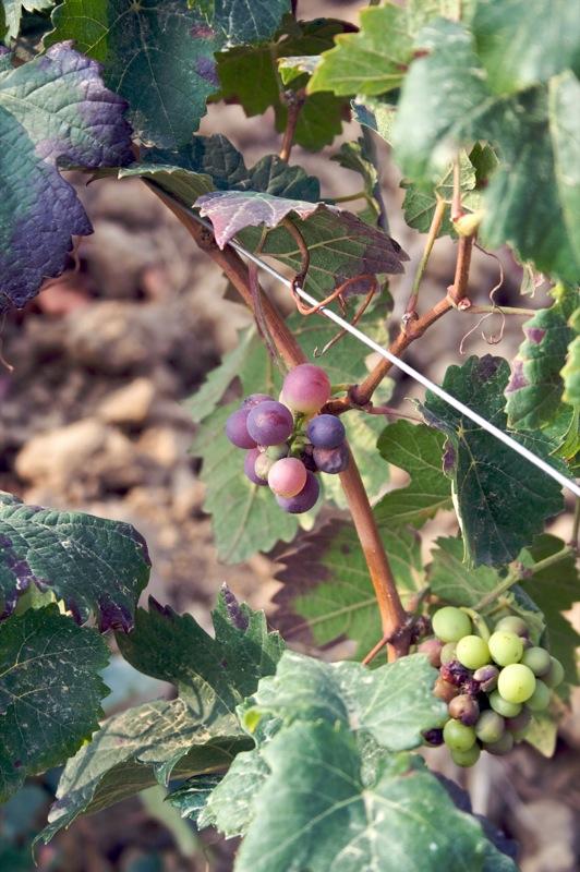 Grapes - Oltrepò Pavese