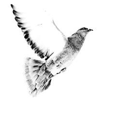 Volando (scarabaeus sacer) Tags: fauna paloma almera vuelo blueribbonwinner desaturada fineartphotos mywinners platinumphoto aplusphoto theunforgettablepictures platinumheartaward a3b nikond300 jatm64
