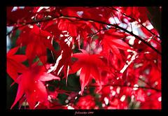 Red Leaves (fs999) Tags: pentax elite sensational aficionados vob digitalcameraclub supershot sigma2870 5photosaday flickrsbest sigma1770 bej photographyrocks abigfave avision sigma1770mmf2845dcmacro impressedbeauty skytheme ultimateshot k20d colourlicious flickrphotoaward theunforgettablepictures brilliant~eye~jewel elitephotography ashotadayorso justpentax goldstaraward excapturemacro club16 pentaxk20d spiritofphotography topqualityimage flickrlovers sigma2870mmf28exaspherical topqualityimageonly colouratart fs999 goldenmasterpiece hairygitselite blueribbonbanned
