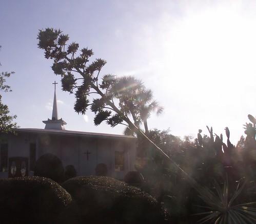 Agave americana bud stalk