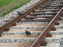 IMG_3952 (theearlofgrey) Tags: tracks crows castricum