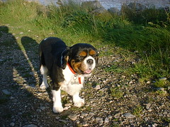 King Charles Spanial (Harvey Dogson) Tags: friends dog mike car puppy kat amy cumbria tricolor spaniel 5bestdogs ruby lyn mitzy sniffs blackandtan kingcharles newbiggin kingcharlescavalier wakies flickrlovers harveydogson amymit