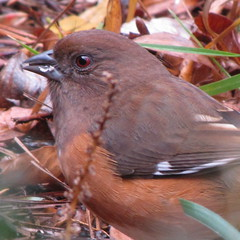 HAPPY THANKSGIVING to all my great flickr friends!!!!  Eastern towhee, female (Vicki's Nature) Tags: bird female canon georgia towhee easterntowhee naturesfinest pipiloerythrophthalmus abigfave sx10 theunforgettablepictures natureoutpost vickisnature vosplusbellesphotos bwcge
