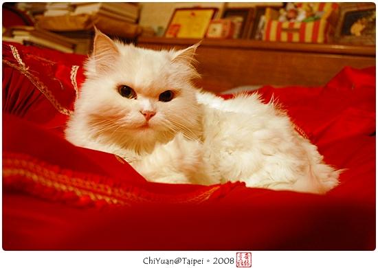 [叮叮]Cat。大紅棉被窩