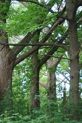 Natural Cathedral (FatSam15) Tags: trees treetrunk