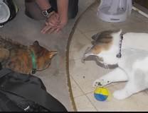Treats for Two and Two for Treats (Tabbymom Jen) Tags: cats cat tabby kitty victor kitties nina torbie treatball