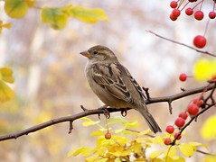Little sparrow (visiblejoy) Tags: fall autumnleaves housesparrow redberries chicagobotanicgarden littlebird naturesfinest supershot femalesparrow platinumphoto anawesomeshot aplusphoto annsullivan platinumheartaward onephotoweeklycontest goldstaraward flickrlovers goldenart alittlebeauty flickrsmasterpieces visiblejoyphotography