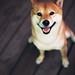 柴犬:Daily店員養的柴犬
