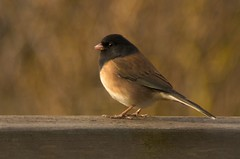 Junco with Bokeh