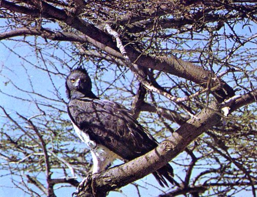 Aigle belliqueux