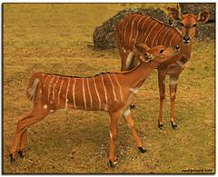 a romantic couple... (iCamPix.Net) Tags: wild newyork animal kiss couple deer wildanimal maimi deerkiss canonef100400mmf4556lisusmlens cannoneos1dsmarkiii icampixtechnologyleveli