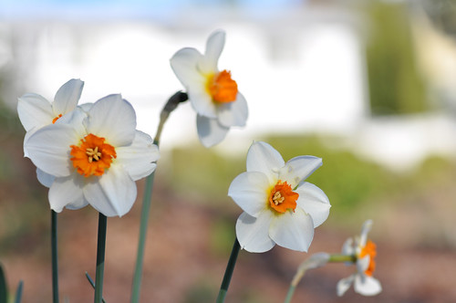 Daffodils, earlier this month. Photo by Freeman Mester in the Beacon Hill Blog photo pool.