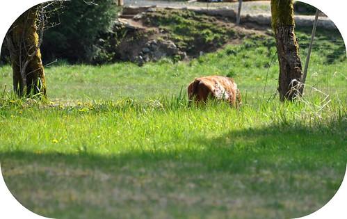 Cow Rump