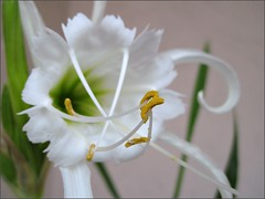 Spider Lily, close up
