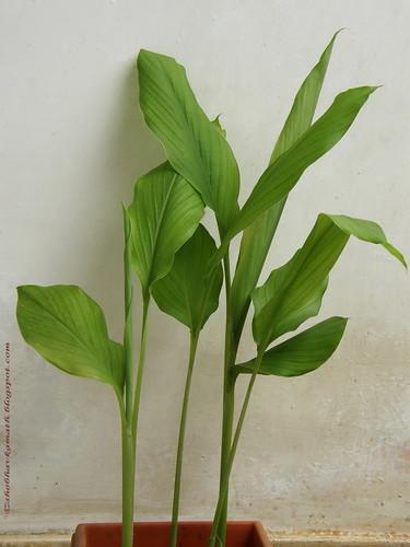 Turmeric/Haldi Plant