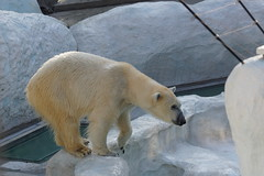 Dea the Polar Bear 2014-03-09 (kuromimi64) Tags: japan zoo tokyo polarbear  uenozoo   uenozoologicalgardens