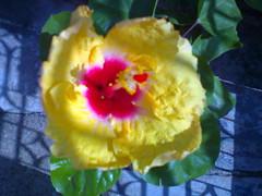 Hibiscus (mrunalkhandekar) Tags: flowers garden ganpati