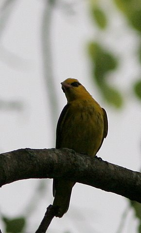 golden oriole lalbagh 220308