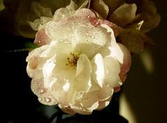 Rose at Home (Swami Stream) Tags: india flower beautiful rose canon rebel bangalore karnataka banaglore ulsoor bengaluru xti osborneroad swamistream swamistreamcom
