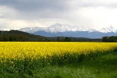 Chane des pyrnes (adour garonne) Tags: yellow vic pyrenees plaine colza picdumidi adour landscapesdreams